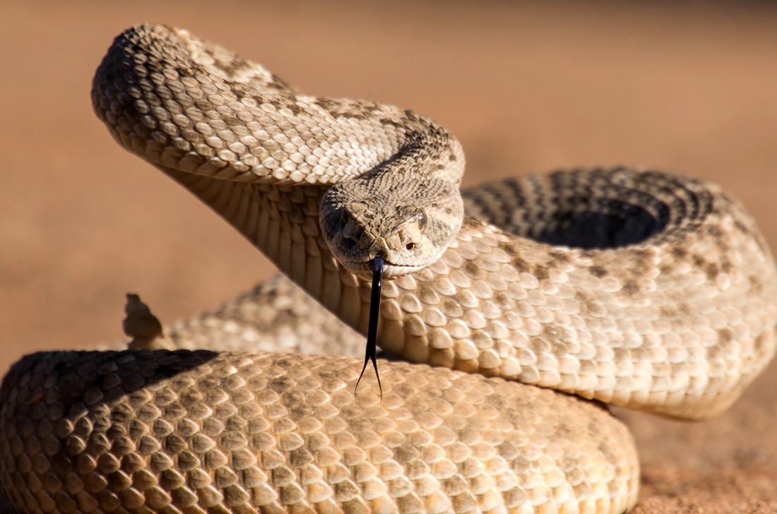 A Texas toddler received 30 vials of antivenin to counteract a rattlesnake bite. Image by Susan M Snyder / Shutterstock