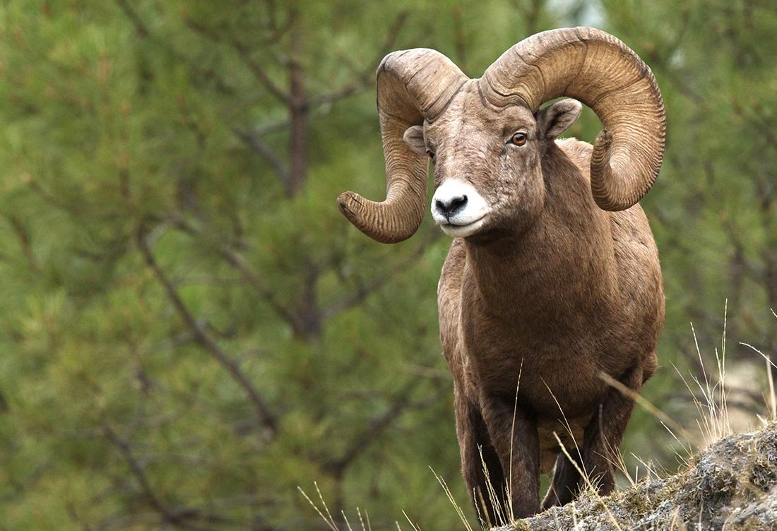 A single mountain lion can wipe out a small herd of bighorn sheep. Image by Tom Reichner / Shutterstock