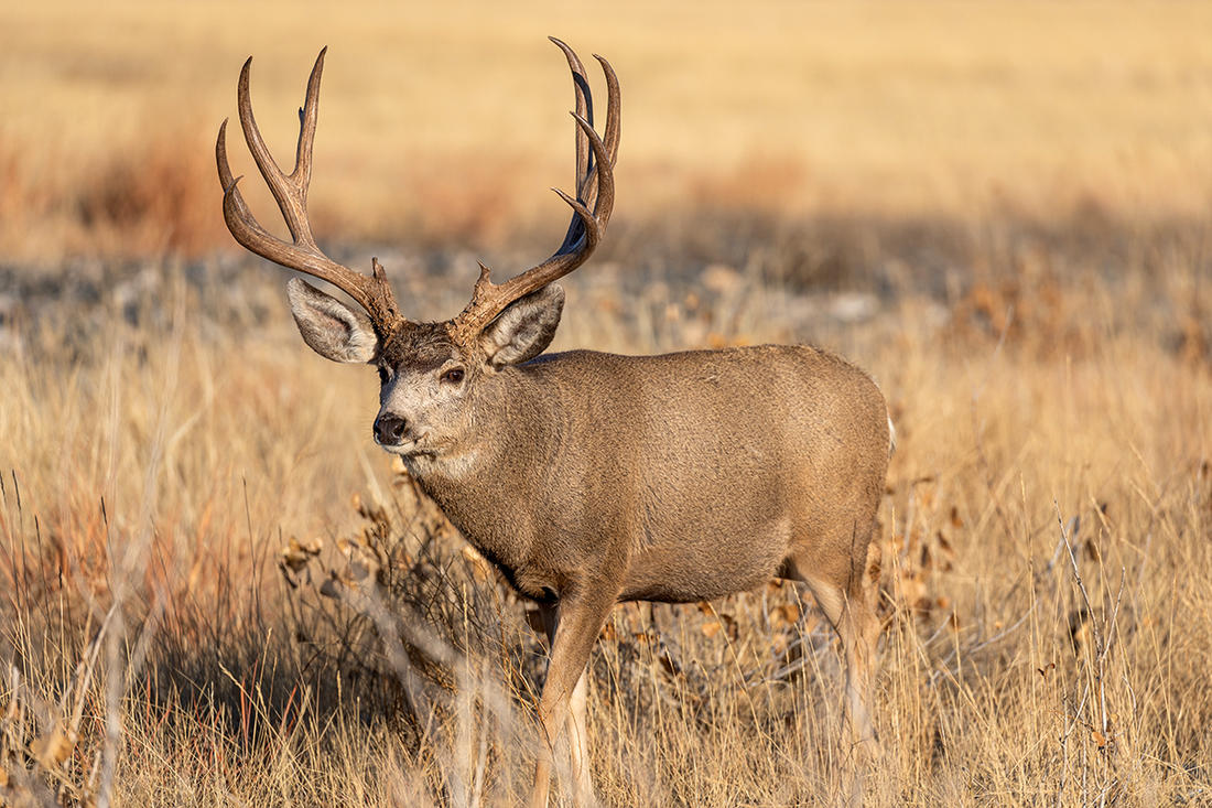 Sneaking into close range of a mature mule deer is no easy task. Image by Tom Tietz / Shutterstock