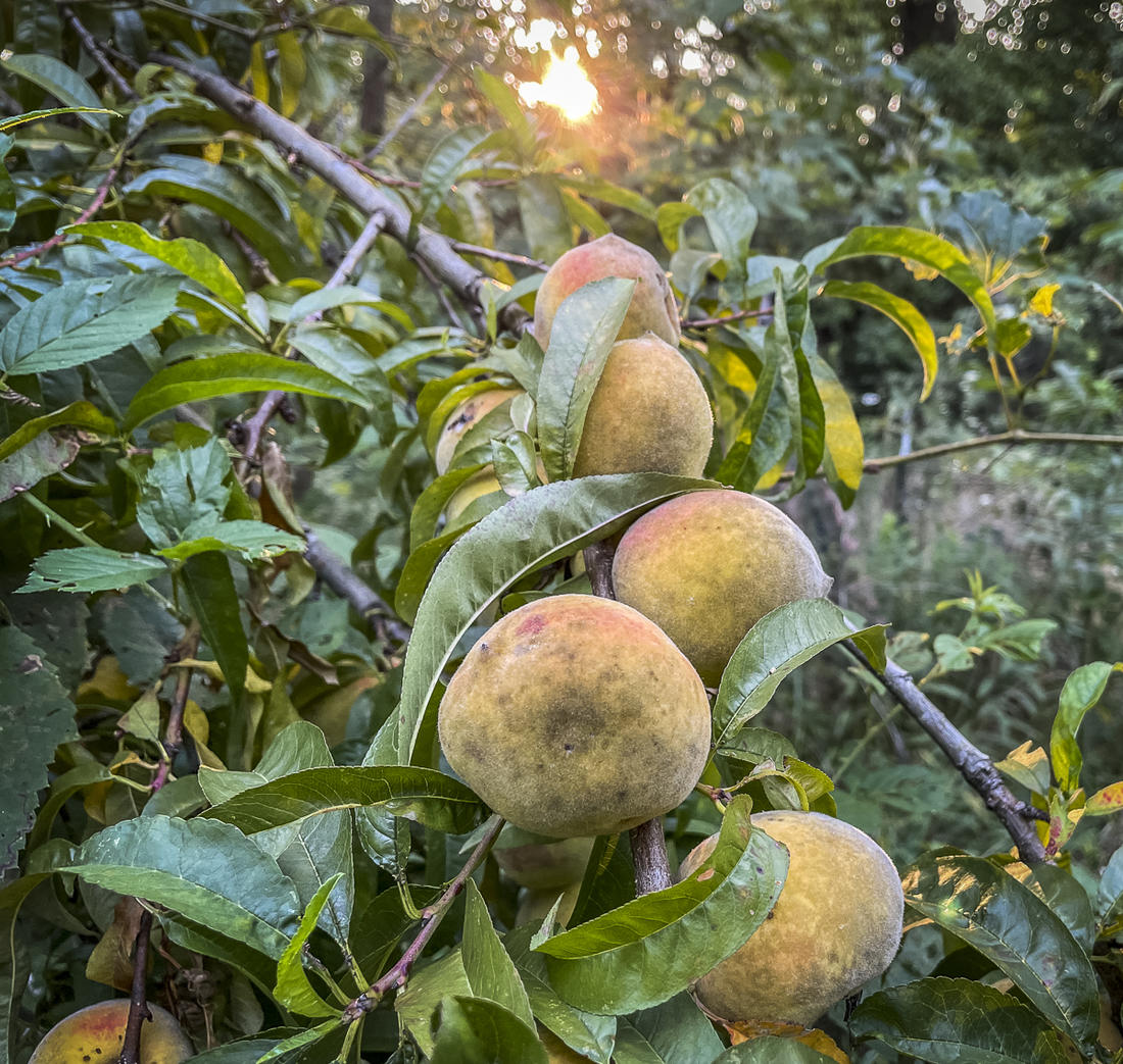 Every few years, the old peach tree next to our squirrel hunting spot actually bears fruit.