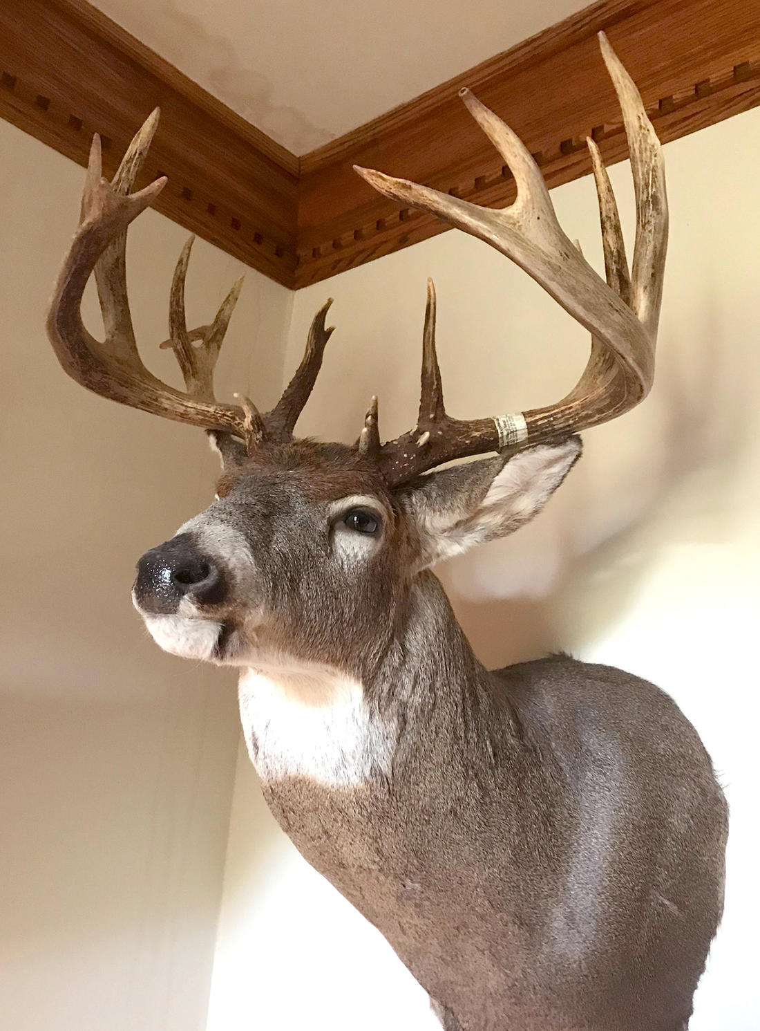 It took two years for the author to get the mount back from his best buck ever, but it was worth the wait.