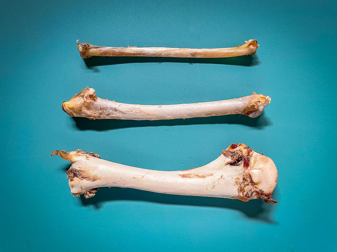 Top to bottom, the radius, ulna and humerus bones. Image by Steve Hickoff