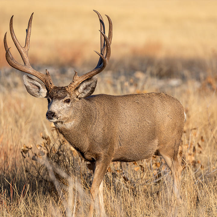 Mule deer are incredibly well adapted to predator evasion in the wide-open country that they inhabit.