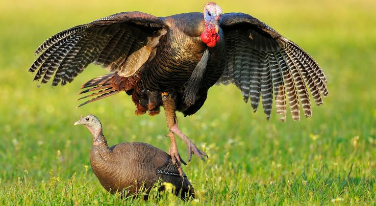 Turkey Hunting: Cool Photos of Gobblers Fooled by Decoys Preview Image