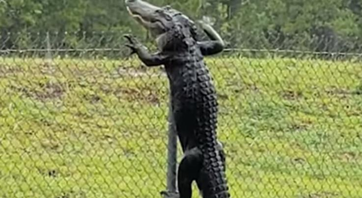 Watch Alligator Scale Fence in Florida Preview Image
