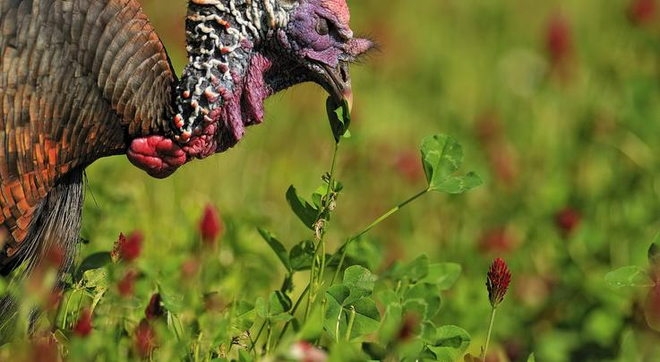 Crop Check: What Do Wild Turkeys Eat? Preview Image