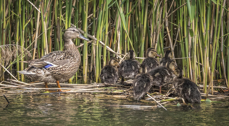Delta Waterfowl July 2019 Conditions Report Preview Image
