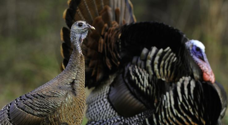 Rules Every Turkey Hunter Should Know Preview Image