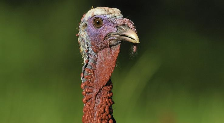 How to Get Inside a Wild Turkey's Comfort Zone Preview Image