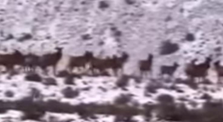 Watch Massive Elk Herd Cross Road in Washington Preview Image