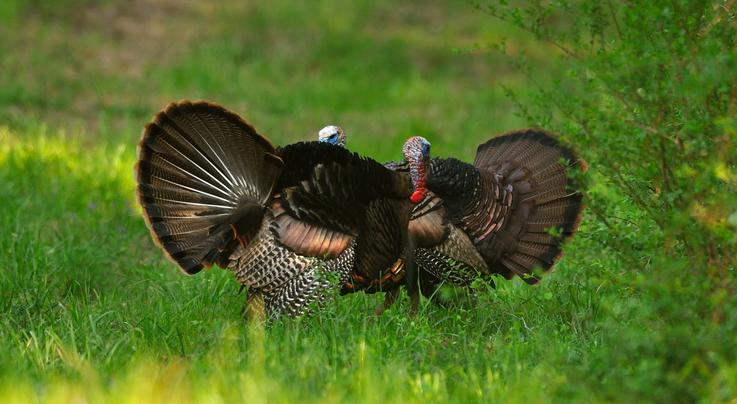 Cool Photos of Fighting Wild Turkey Gobblers Preview Image