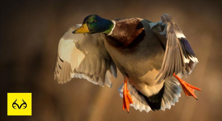 The X: Kansas Waterfowl: Swarms of Ducks Preview Image