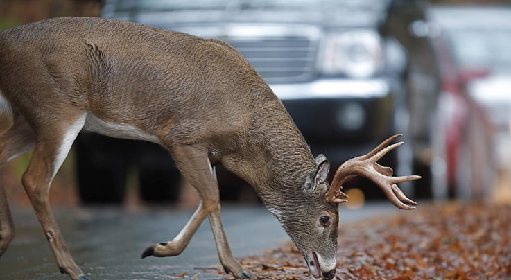 The Truth About Deer and Urbanization Preview Image