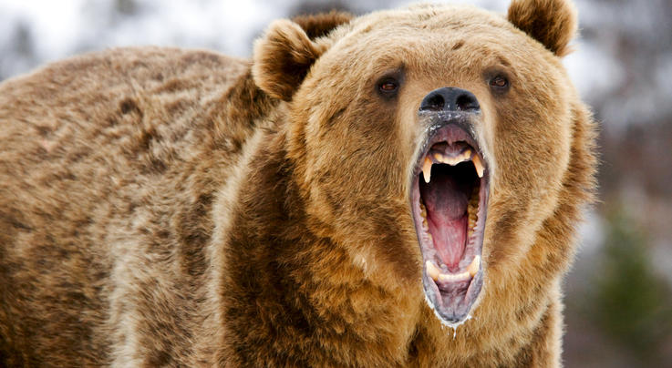 Congressman Introduces Bill to Ban Grizzly Bear Hunting Preview Image