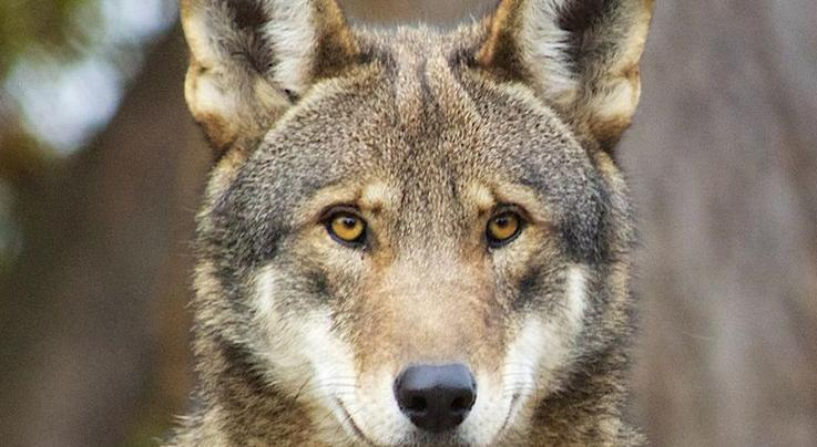 Should Red Wolves be Reintroduced in the Southeast?  Preview Image