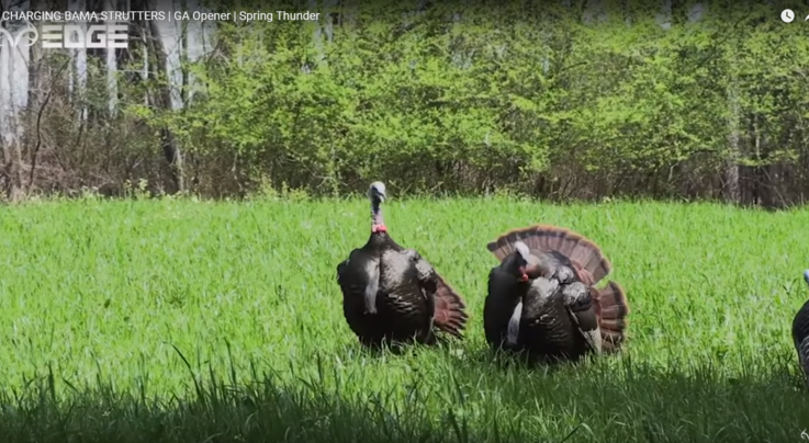 Spring Thunder: Two Charging Alabama Strutters and the Georgia Turkey Opener Preview Image