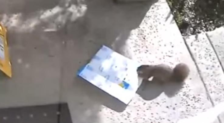 Porch Pirate Squirrel Caught in the Act Preview Image