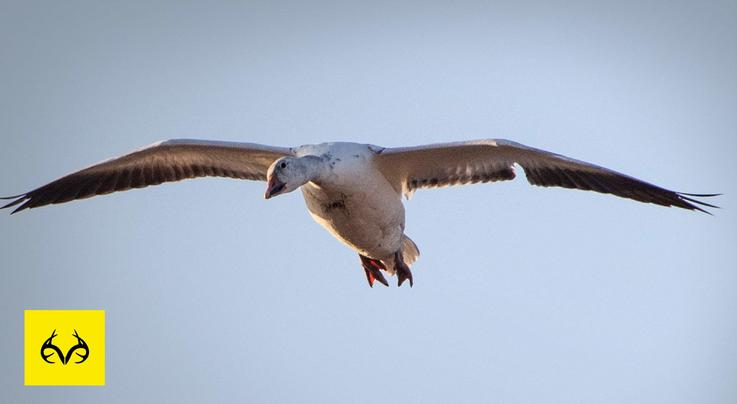 Best Tips for Snow Goose Hunting: You Have to Try These Preview Image