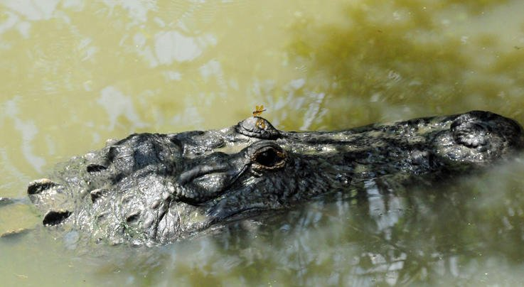Alligator Discovered at Kentucky Lake Preview Image