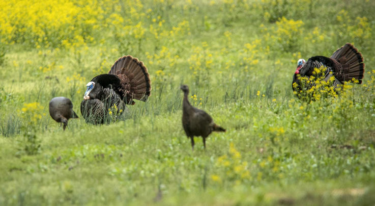 Alabama Turkey Hunting Regulation Changes Proposed  Preview Image