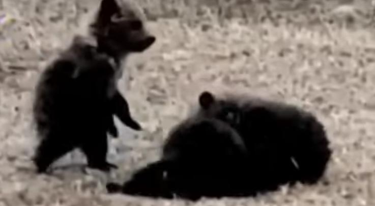 Ranchers Locate Grizzly Cubs Belonging to Sow Shot by Hiker Preview Image