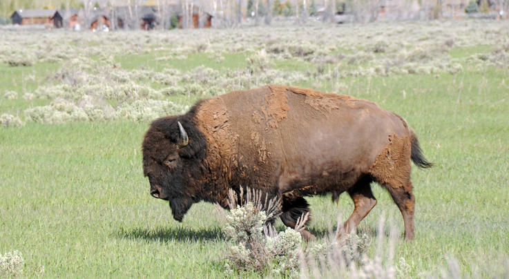 Bison Gores Woman at Yellowstone National Park Preview Image