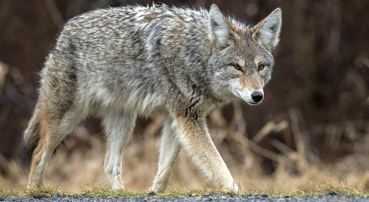 Video: Coyote Snatches Dog from Yard Preview Image