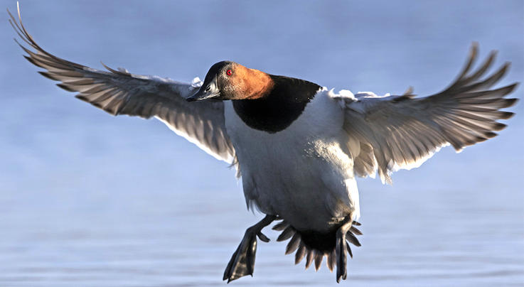 Best States for a Bull Canvasback, Revisited Preview Image