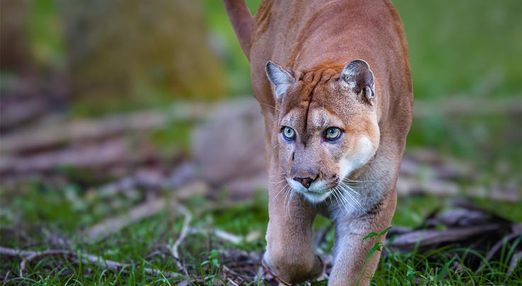 Turkey Hunters Film Two Fighting Florida Panthers Preview Image
