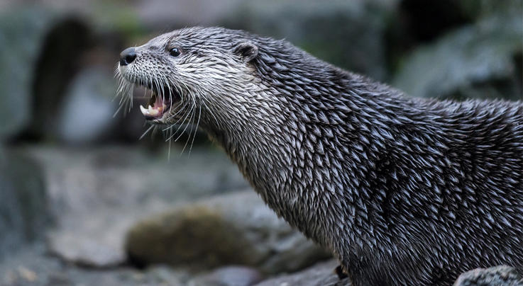 Mom Tackles Home-Invading Otter Preview Image