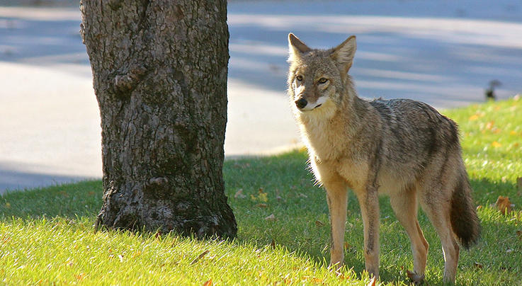 Coyote Leaps Park Fence to Fight Pit Bull Preview Image