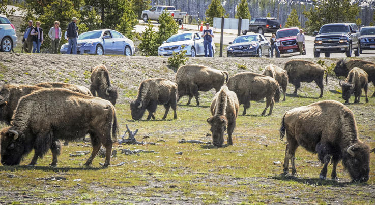 Yellowstone Bison Culled to Reduce Disease Preview Image