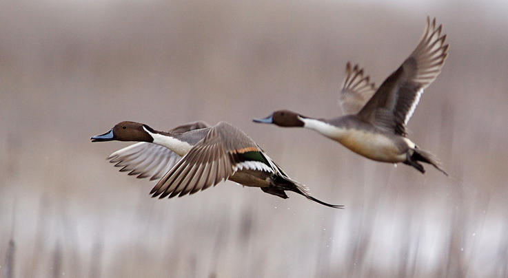 2020 Duck Hunting Nation: Pacific Flyway Preview Image