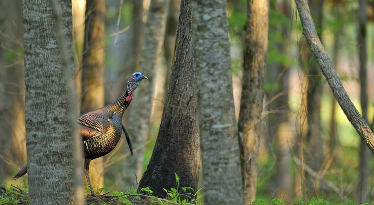 The Devil Turkey of Martin Creek Preview Image