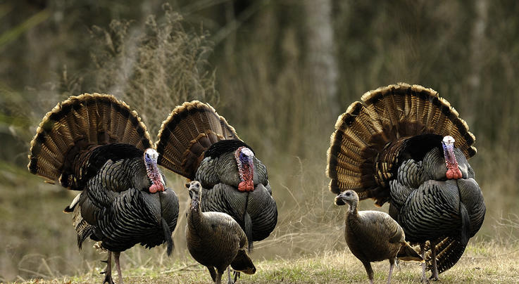 Are Turkey Seasons Opening Too Soon?   Preview Image