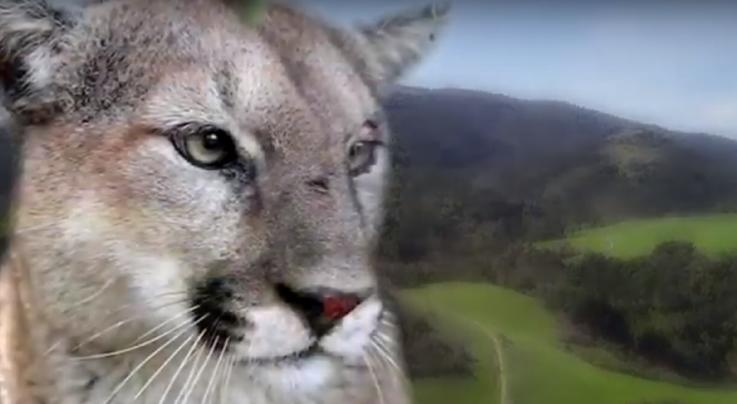 Mountain Lion Attacks 6-Year-Old Girl in California Park Preview Image