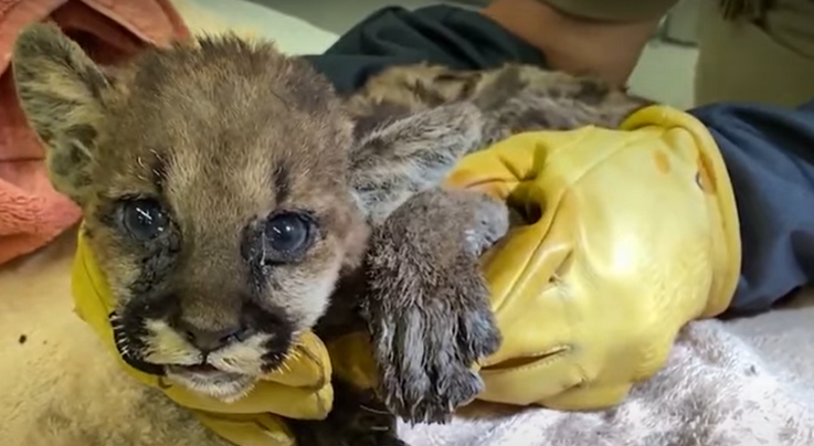 California Firefighter Saves Mountain Lion Cub from Zogg Fire Preview Image
