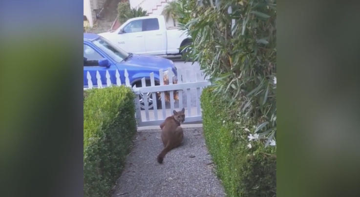 Video Footage Shows Mountain Lion Watching Kids Play in California Neighborhood Preview Image