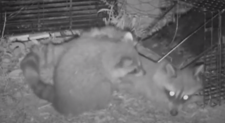 Watch Baby Raccoon Free Its Mother From Trap Preview Image