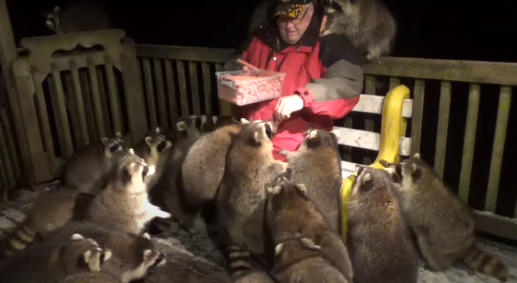 Watch Man Hand-Feed 25 Fat Raccoons Preview Image