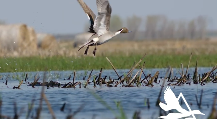 Video: Delta Waterfowl Seeks Solutions to the Pintail Problem Preview Image