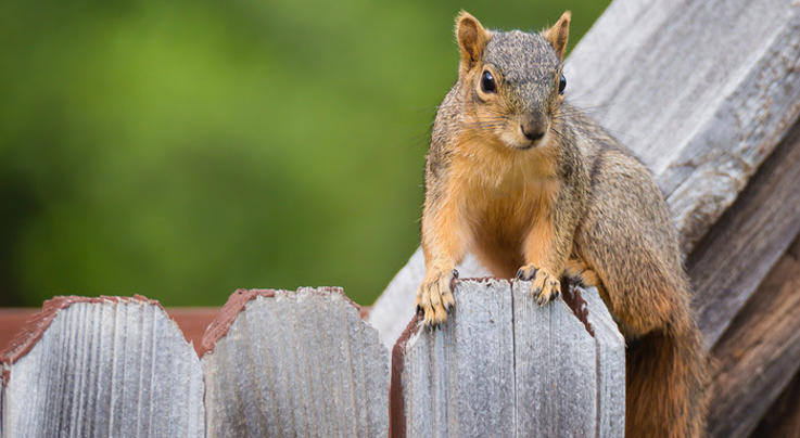 Attack Squirrel Terrorizes Texas Neighborhood  Preview Image