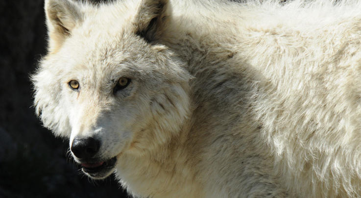 Colorado Voters to Decide on Wolf Reintroduction Preview Image