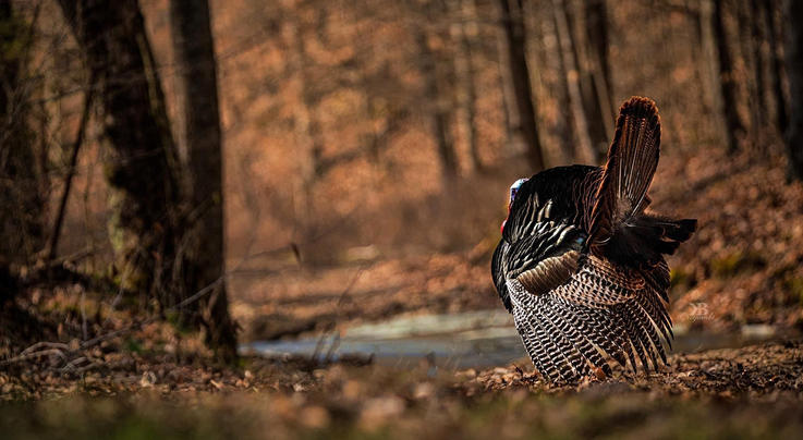 50 Years of Turkey Hunting (and What I've Learned) Preview Image