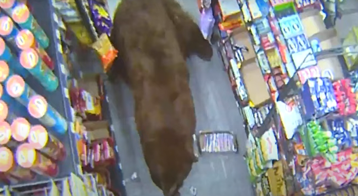 California Campers Shoot 'Safeway Bear' Known for Raiding Stores Preview Image