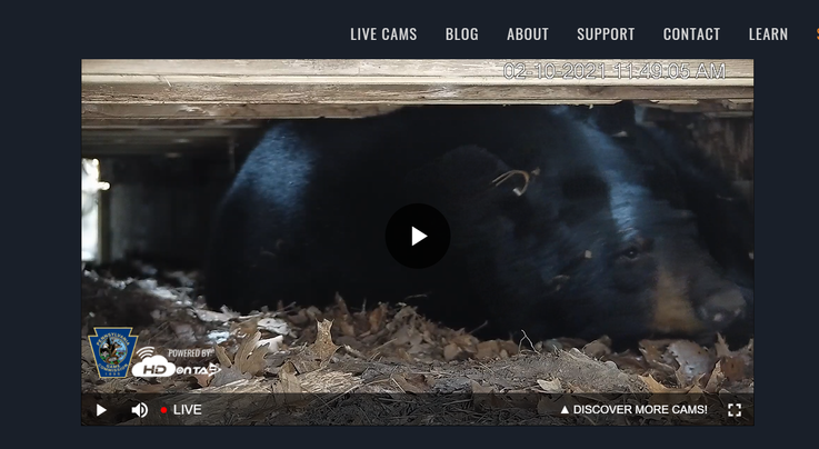 Pennsylvania Game Commission Launches Bear Den Livestream Preview Image