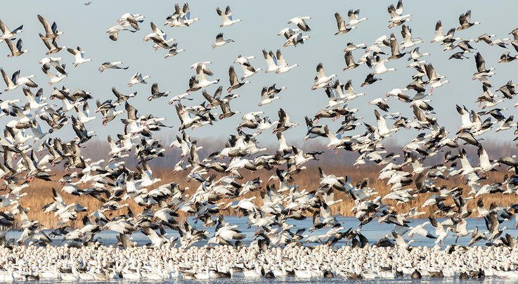 Four Overlooked Snow Goose Hotspots  Preview Image