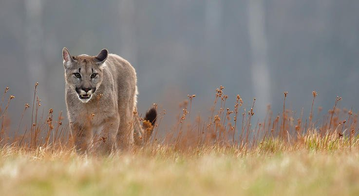 Sickly Mountain Lions Spotted in Santa Cruz, California Preview Image