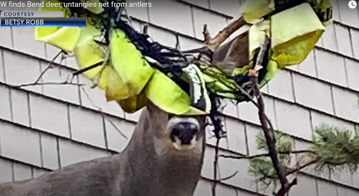 Oregon Wildlife Officers Remove Net From Deer's Antlers Preview Image
