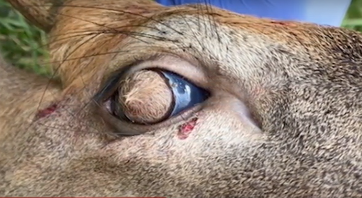 Deer With Hairy Eyeballs Discovered in Tennessee Preview Image